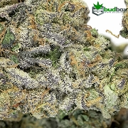 Blackberry Cream AAAA Premium